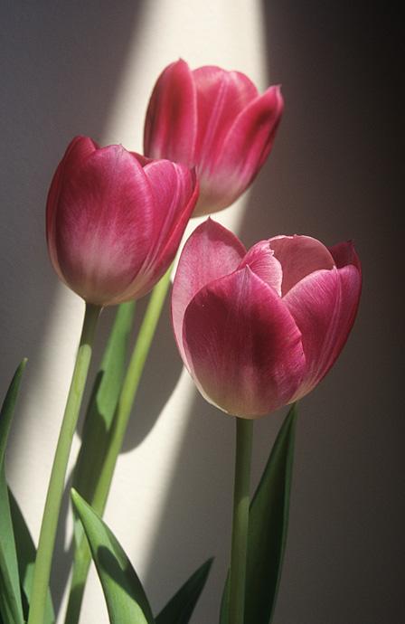 LRPS 02 Tulip Trio
