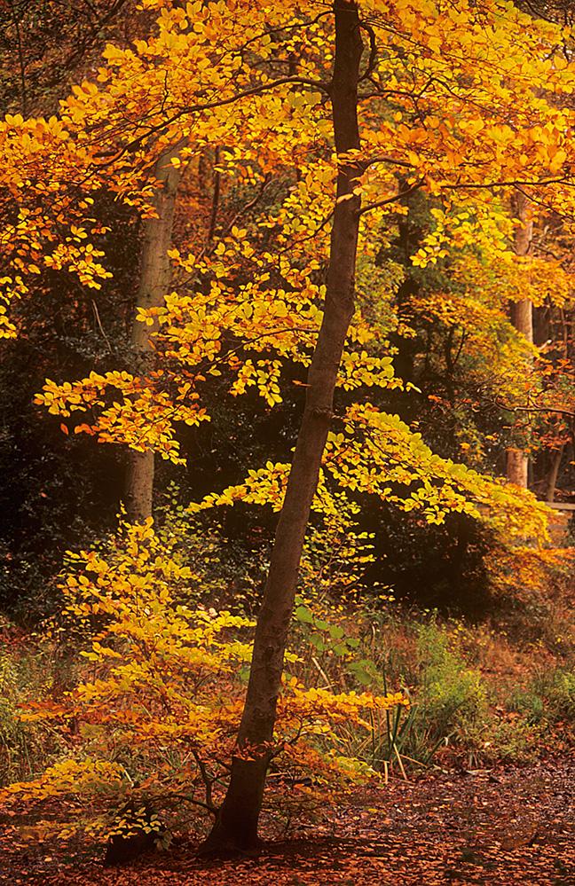 Golden Beech, Burnham Beeches