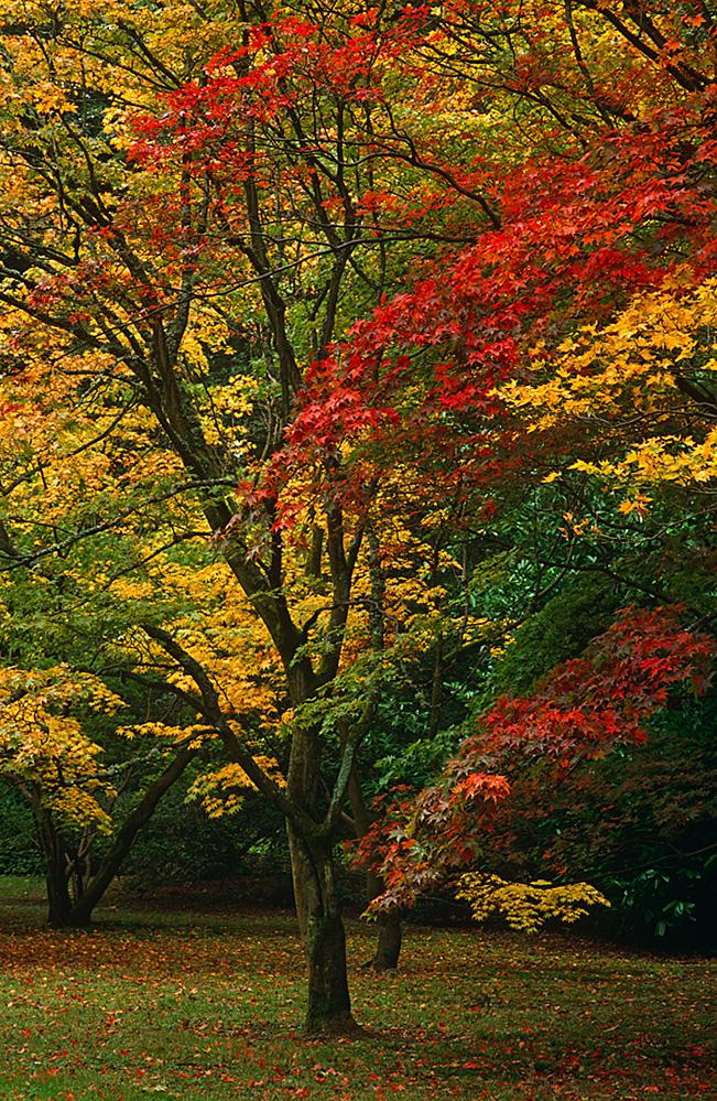 Acer Colours, Westonbirt Arboretum