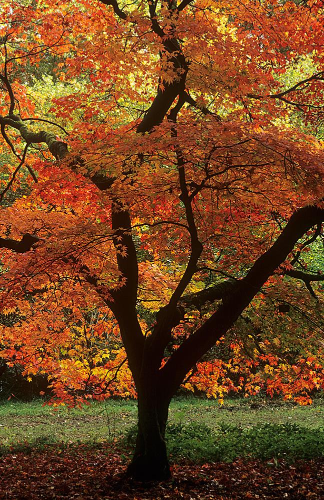 Acer Tree, Westonbirt Arboretum