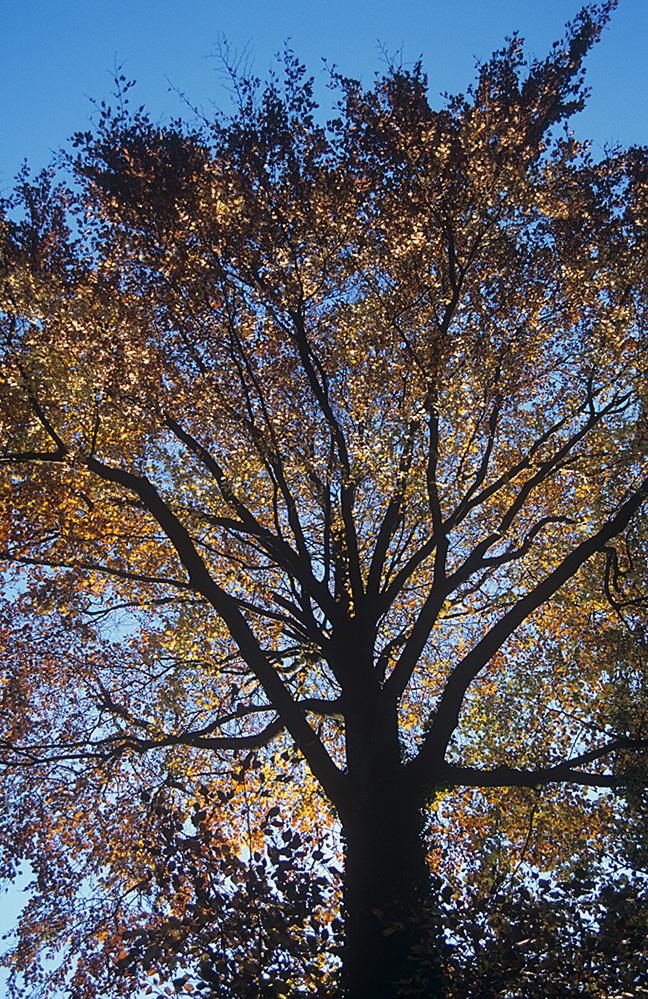Autumn Silhouette, Cooper's Hill