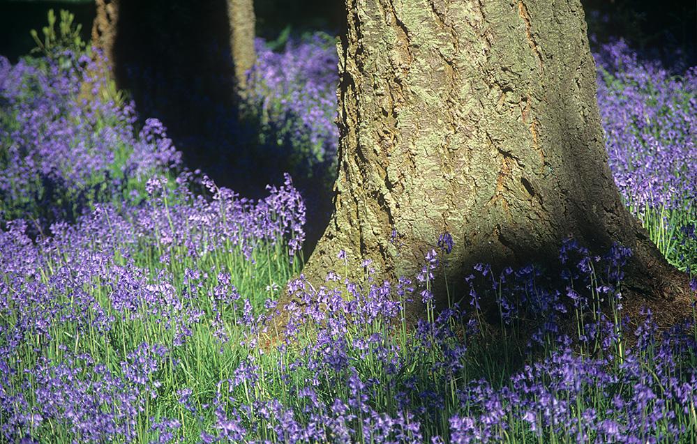 Bluebells, Westonbirt Arboretum