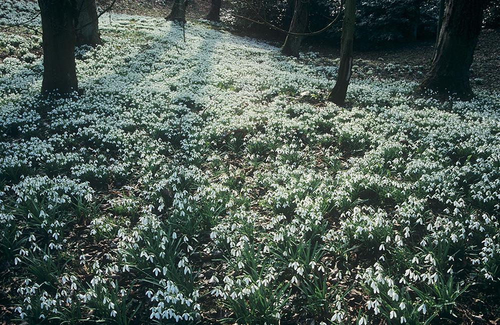 Snowdrops, Rococo Gardens, Painswick