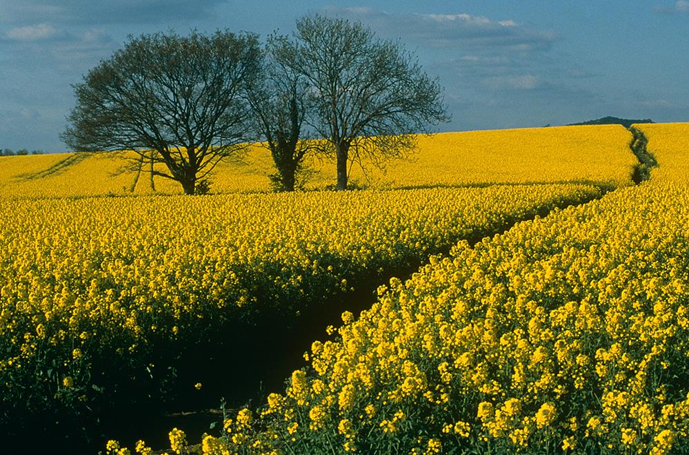 Yellow Rape Field, near Gloucester