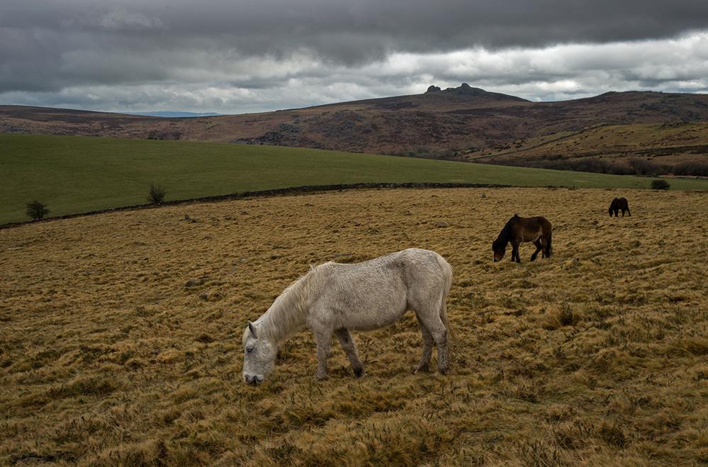 Dartmoor Ponies and Haytor