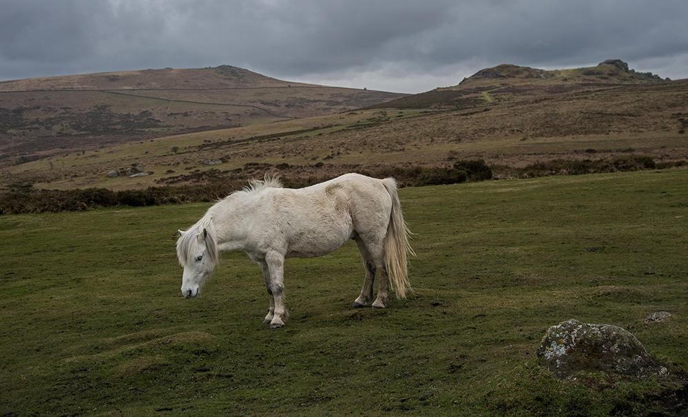 Dartmoor Pony and Saddle Tor