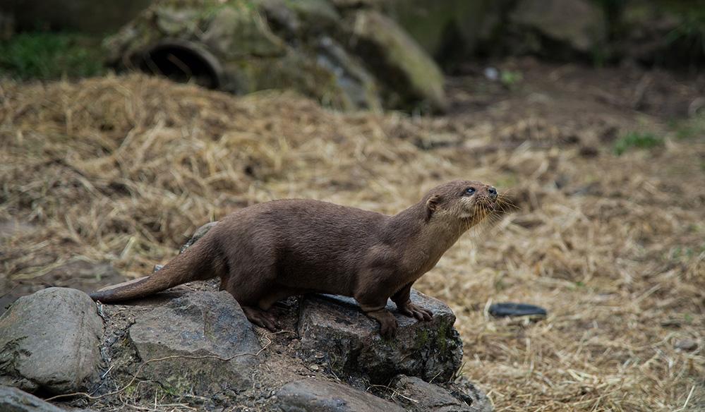Otter Alert, Buckfastleigh