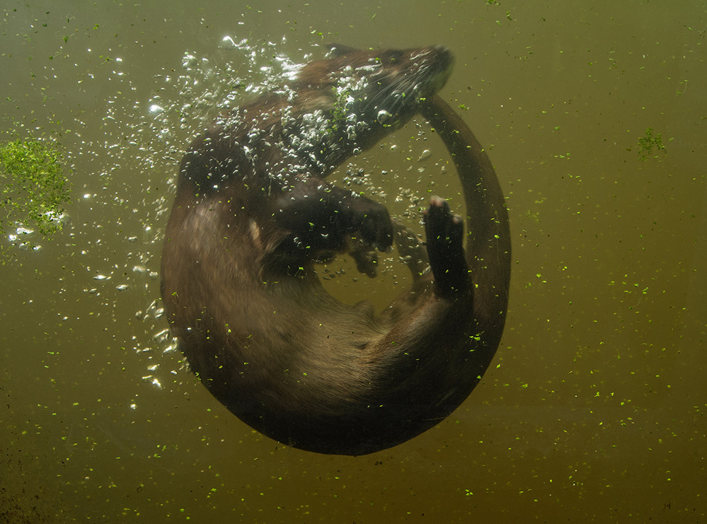 Otter Swimming, Buckfastleigh