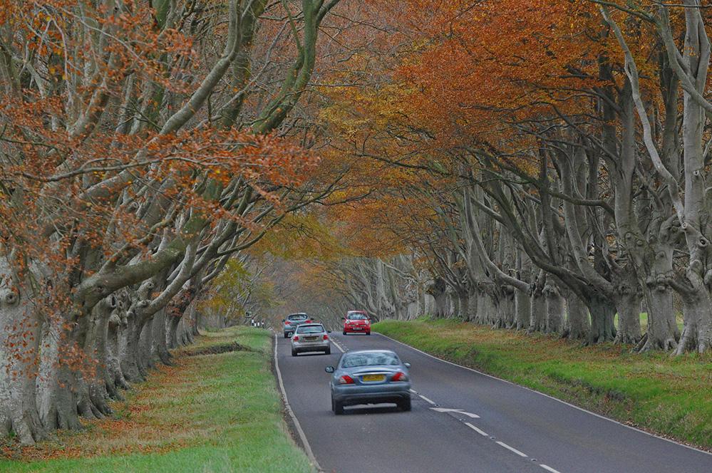 Beech Avenue, Kingston Lacey, Dorset 2