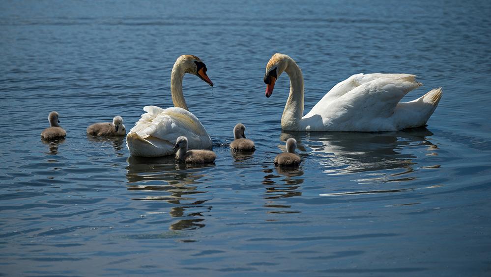 Mute Swan Family, Abbotsbury