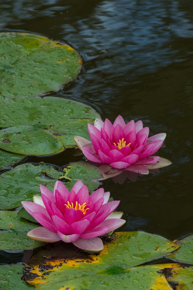 Garden Pond Water Lilies 2