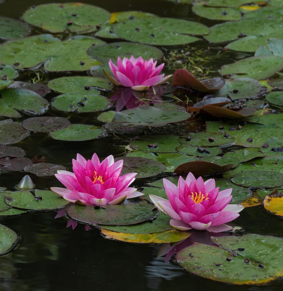 Garden Pond Water Lilies 3