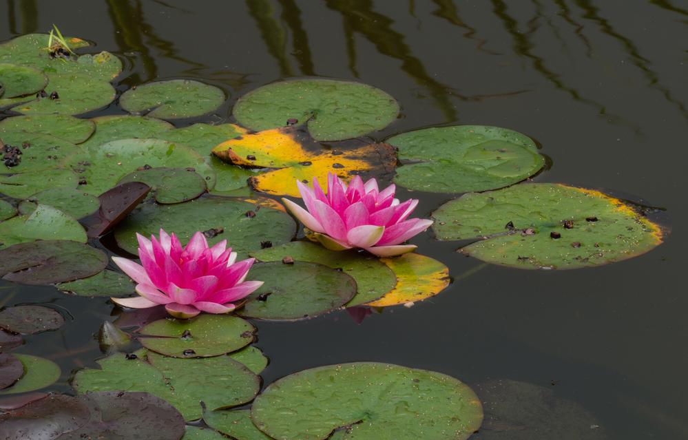 Garden Pond Water Lilies 5
