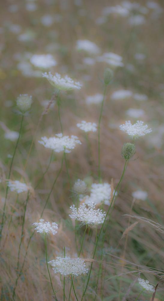 White Meadow Flowers 1