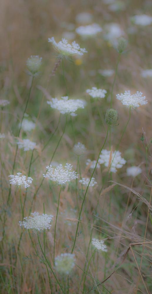 White Meadow Flowers 2