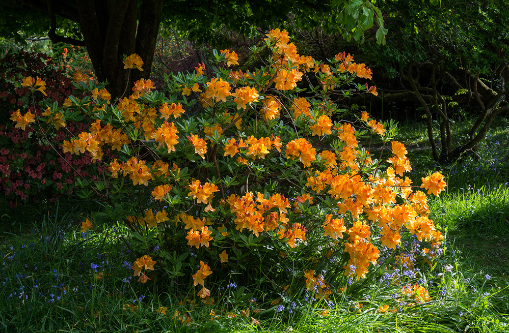 Furzey Gardens New Forest Golden Azalea