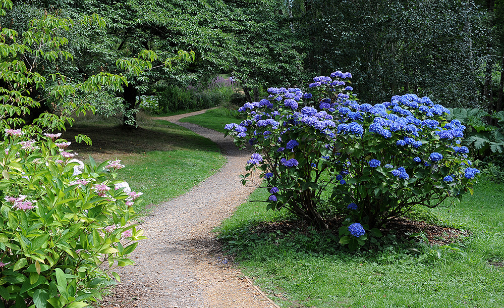 Furzey Gardens New Forest Hydrangea Bush