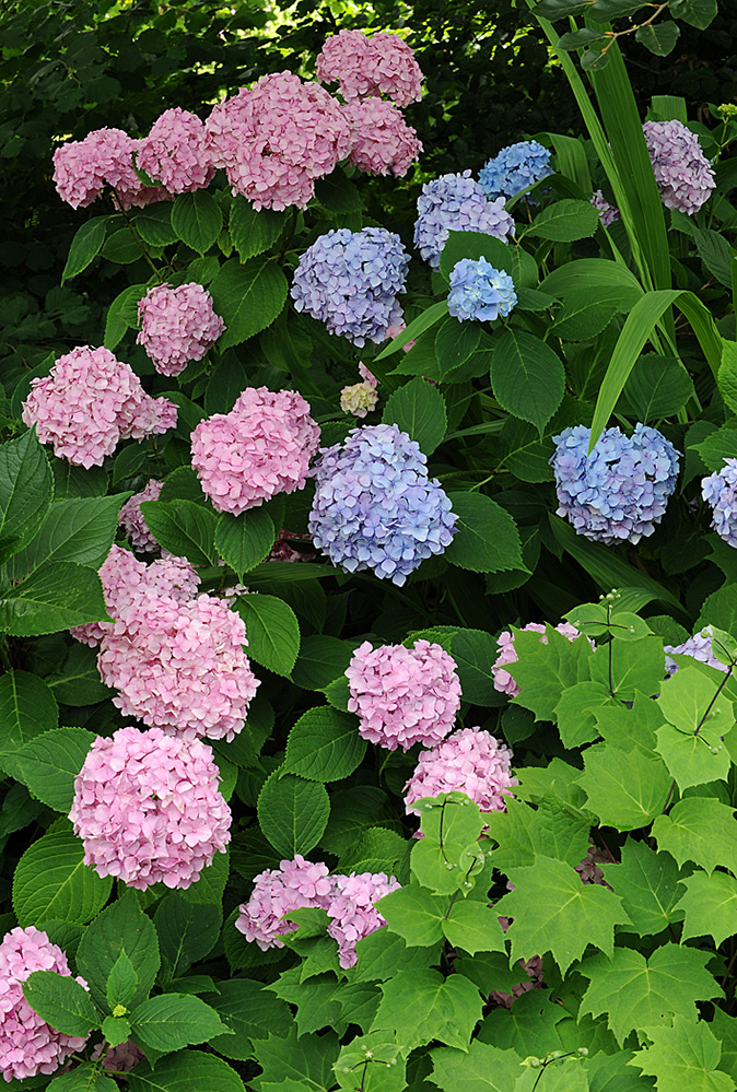 Furzey Gardens New Forest Hydrangeas