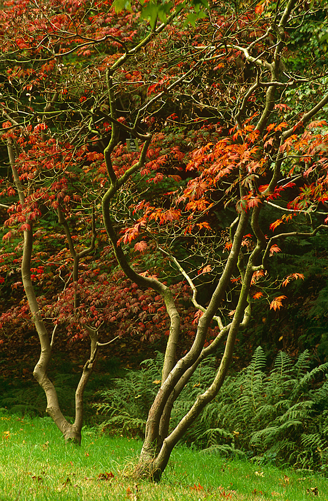 Sir Harold Hillier Gardens Romsey Autumn Acers