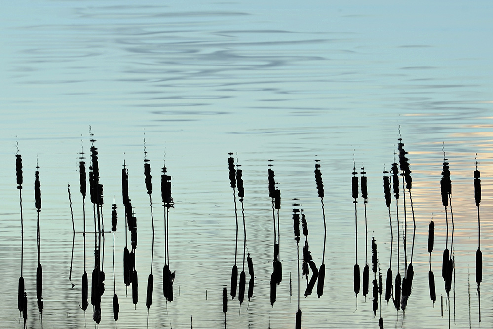 Bullrushes, River Test, Romsey 2