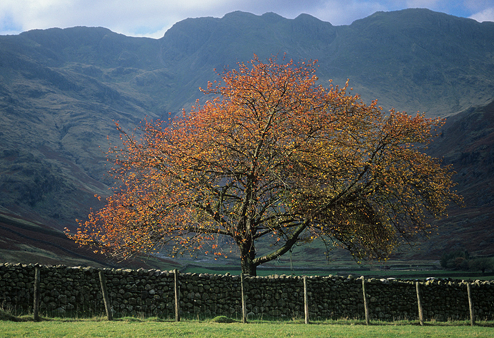 Autumn Tree and Crinkle Crags, Langdale