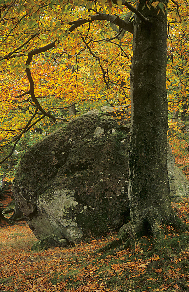 Erratic Boulder and Tree, Baneriggs, Grasmere
