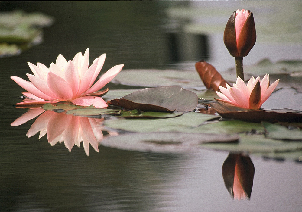 Waterlily Reflection, Kew Gardens