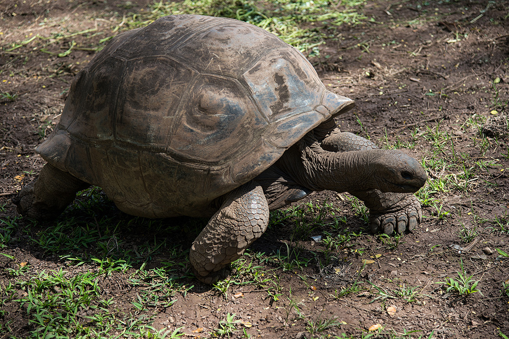 Giant Tortoise at Chamarel