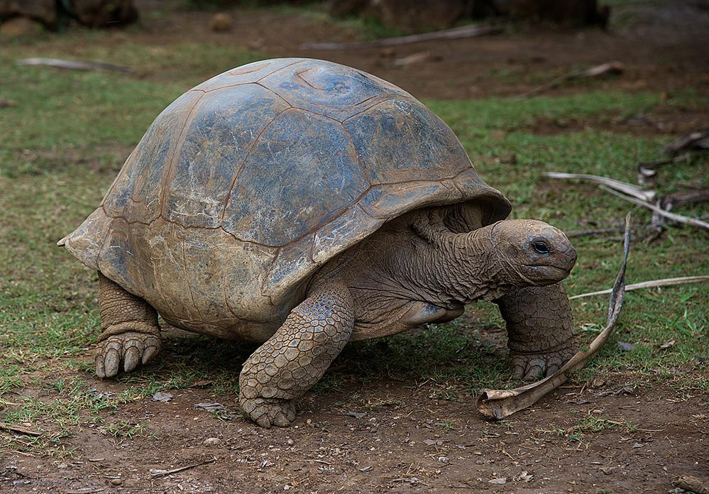 Giant Tortoise at La Vanille Reserve 1