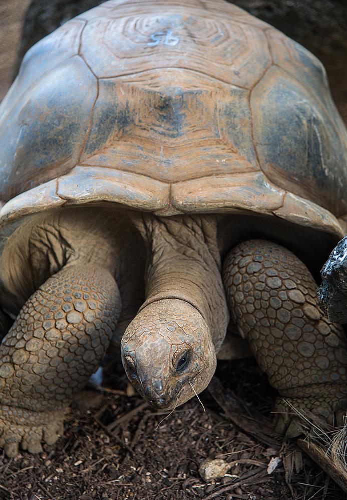 Giant Tortoise at La Vanille Reserve 2