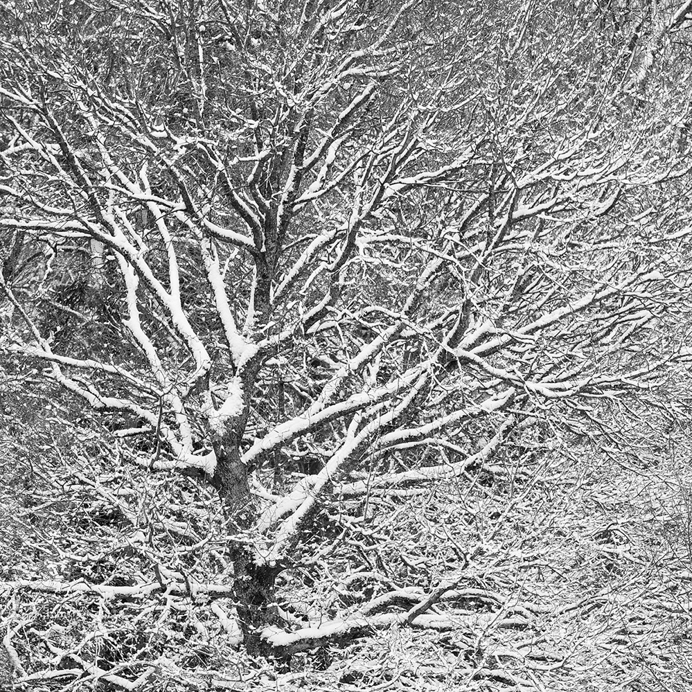 Snow Tracery, Landford, New Forest