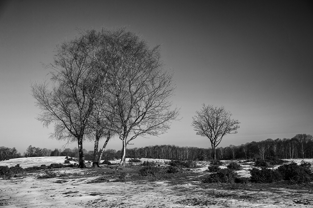 Winter Birch, West Wellow Common, New Forest 2
