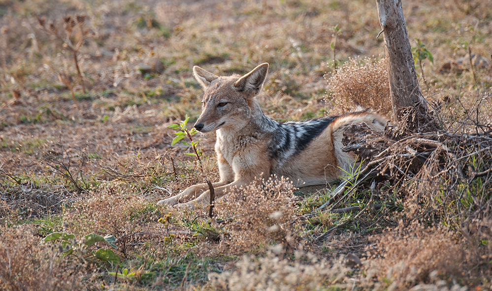 Madikwe Game Reserve Black Backed Jackal 1