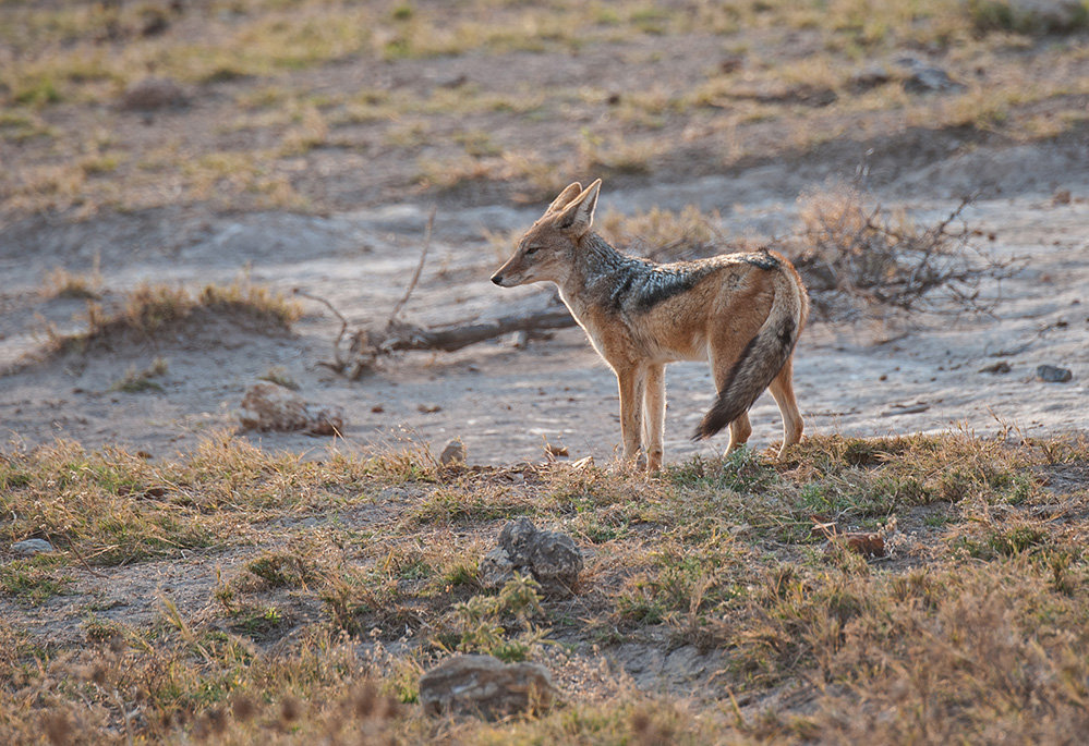 Madikwe Game Reserve Black Backed Jackal 2