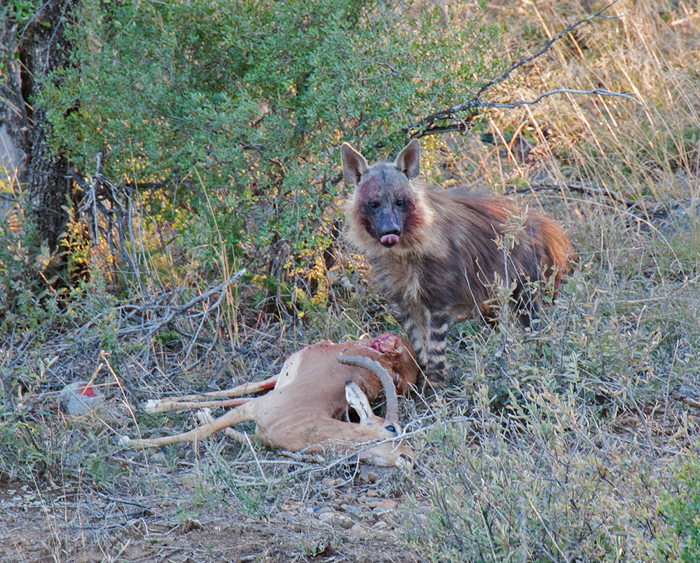 Madikwe Game Reserve Brown Hyena Scavenging 2