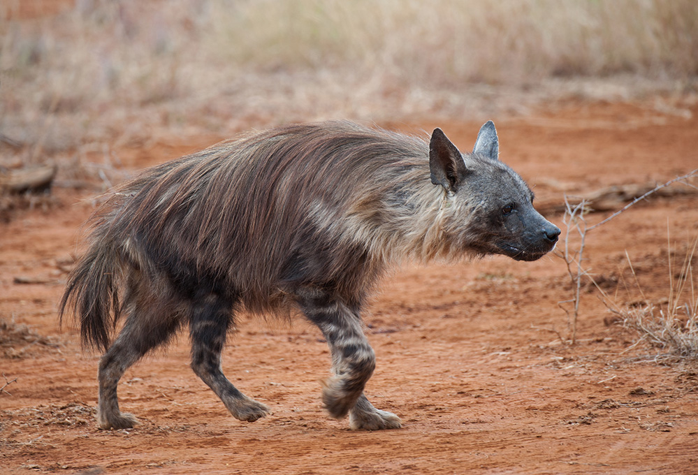 Madikwe Game Reserve Brown Hyena Walk