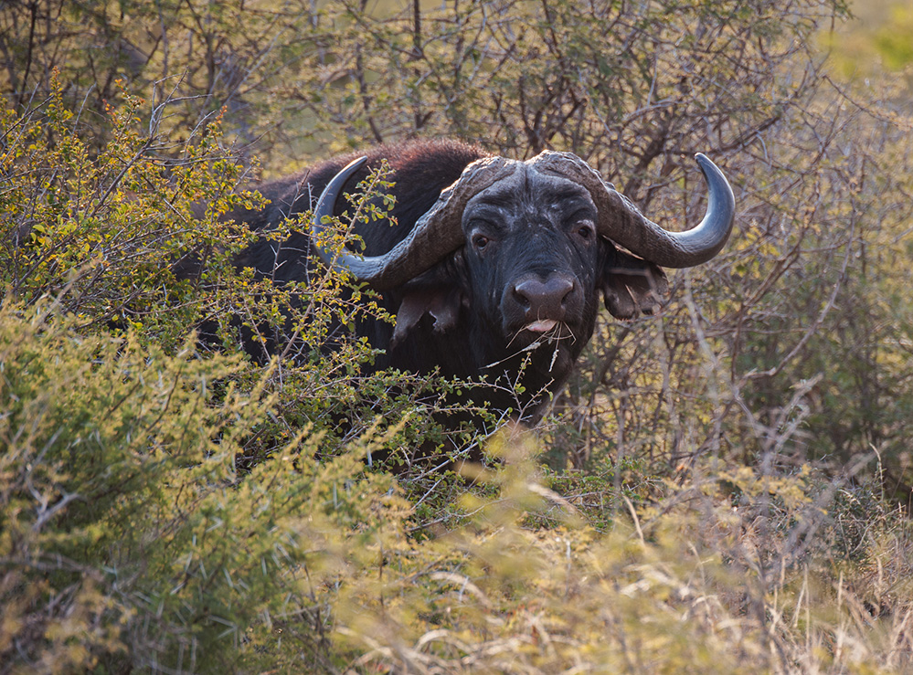 Madikwe Game Reserve Buffalo 1