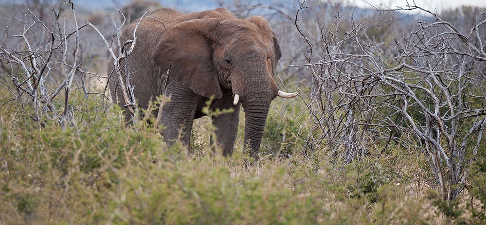 Madikwe Game Reserve Elephant Browsing 1