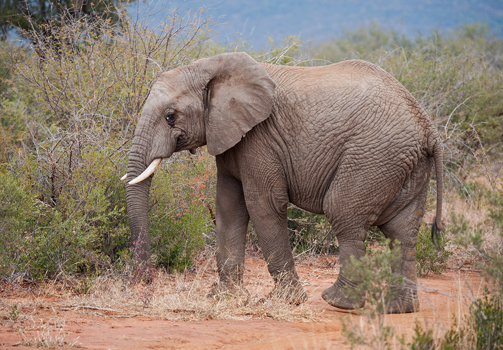Madikwe Game Reserve Elephant Browsing 3