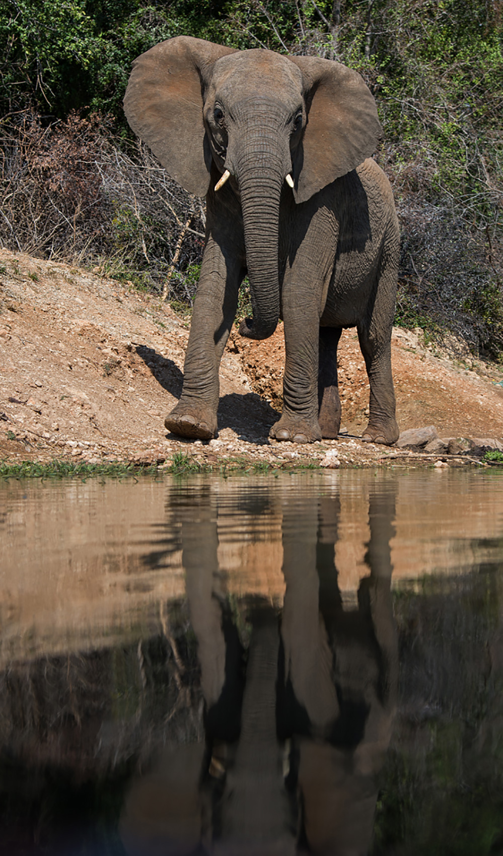 Madikwe Game Reserve Elephant at Water Hole 1