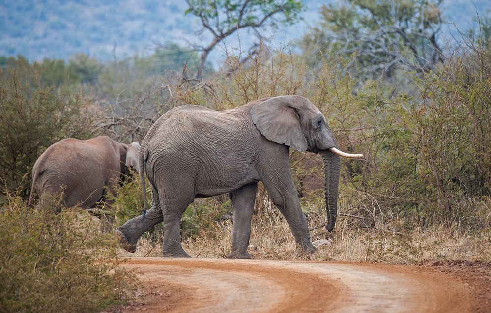 Madikwe Game Reserve Elephants Crossing 1