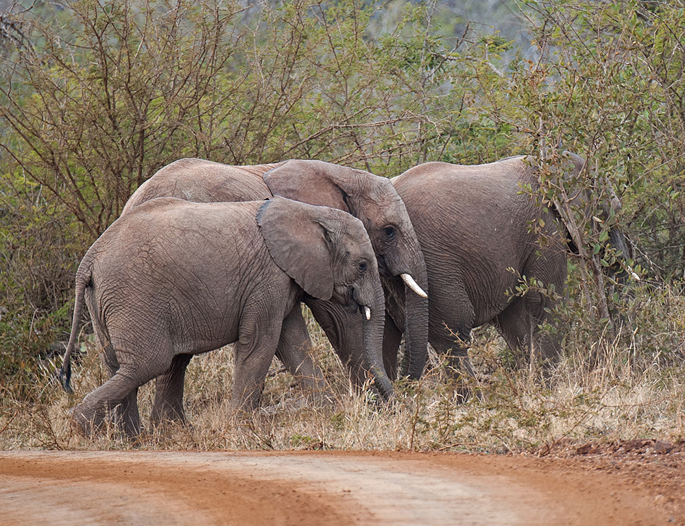 Madikwe Game Reserve Elephants Crossing 2