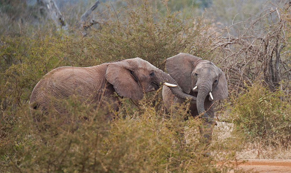 Madikwe Game Reserve Elephants Play Fight