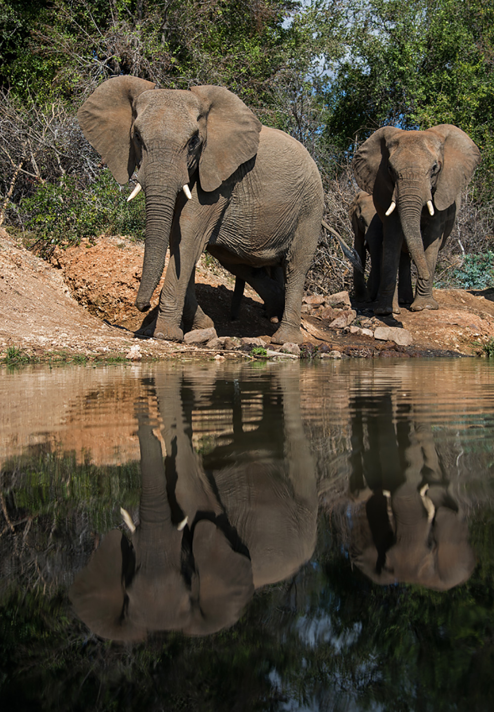 Madikwe Game Reserve Elephants at Water Hole 1