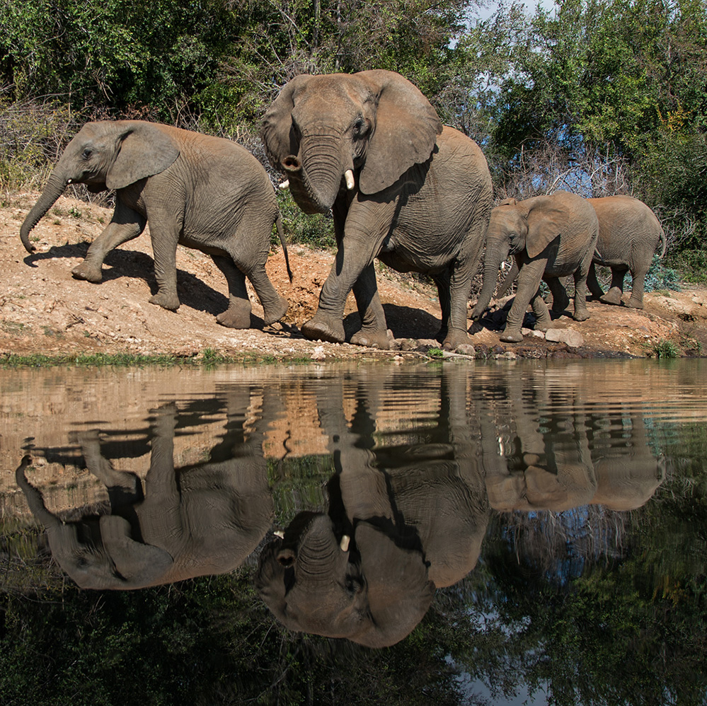 Madikwe Game Reserve Elephants at Water Hole 2