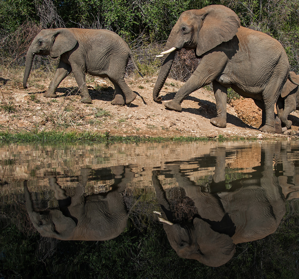 Madikwe Game Reserve Elephants at Water Hole 3