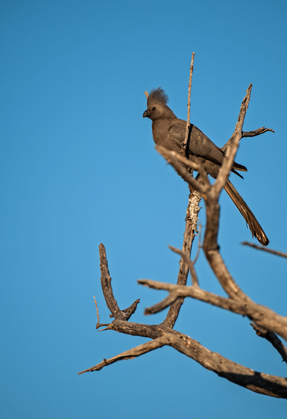 Madikwe Game Reserve Grey Go Away Bird 1