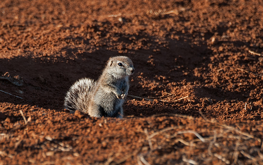 Madikwe Game Reserve Ground Squirrel