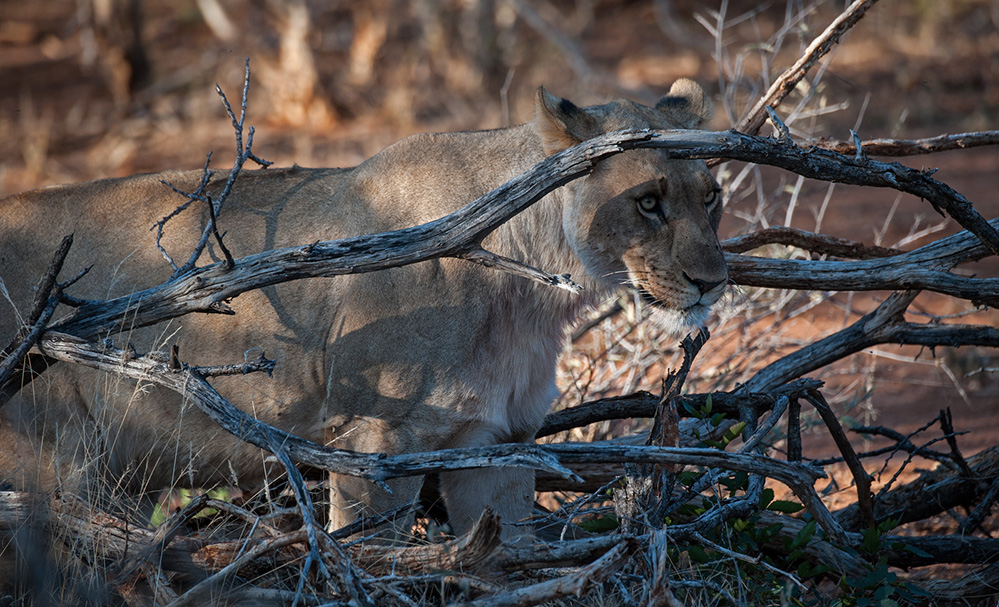 Madikwe Game Reserve Lioness Looking