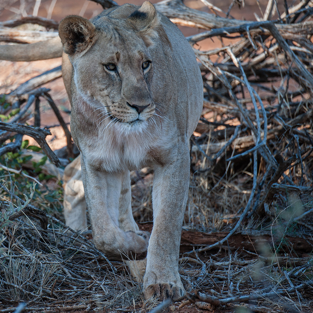 Madikwe Game Reserve Lioness Walking